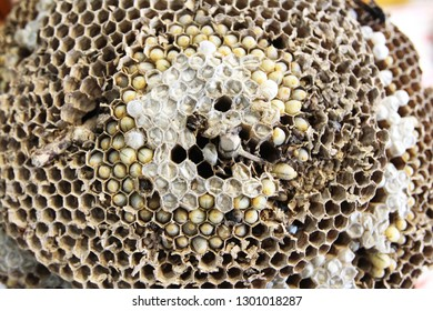Paper Wasp, Wasps nest and embryo