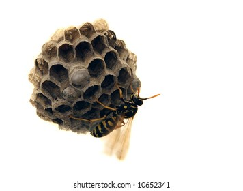 Paper Wasps (Polistes fuscatus aurifer) are commonly called Yellow Jackets and build paper nests like the one seen here.
