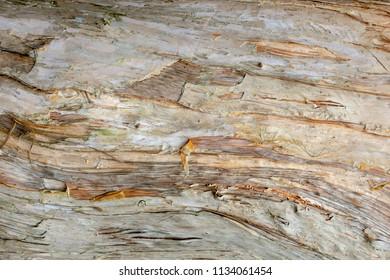 Paperbark tree (Melaleuca quinquenervia) trunk bark closeup, texture - Wolf Lake Park, Davie, Florida, USA