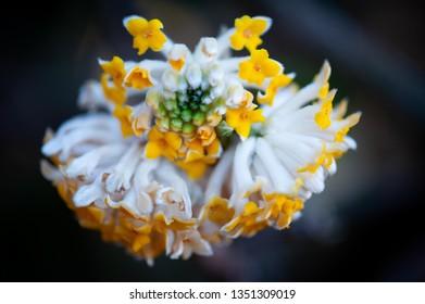 Paperbush  Plant Macro