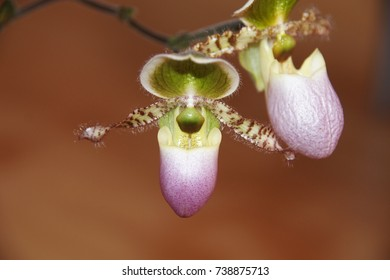 Paphiopedilum Pinocchio. Flower of ladies slipper orchid. Close-up