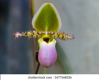 Paphiopedilum pinocchio Lady's Slipper Orchid in a greenhouse
