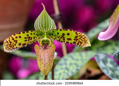 Paphiopedilum sukhakulii ; the special characteristic like a Women's high heels. species of orchid endemic to northeastern Thailand. close up, natural sunlight.