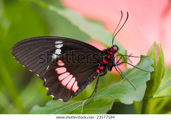 Sưu tập Bộ cánh vẩy 2 - Page 61 Papilio-anchisiades-rubyspotted-swallowtail-600w-23577184