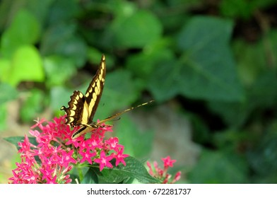 Papilio Cresphontes tropical butterfly on red flowers