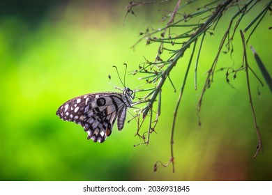 Papilio demoleus is a common lime butterfly and widespread swallowtail, It  is also known lemon butterfly,   lime swallowtail, and  chequered swallowtail.