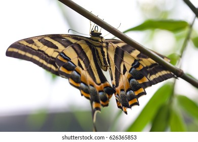 Papilio demoleus is a common and widespread swallowtail butterfly.