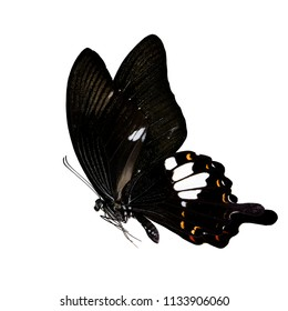 Papilio Iswara, Great Helen beautiful black with white and red spots on the wings butterfly fully stretch flying isolated on white background, exotic nature