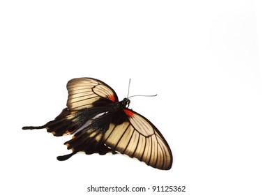 Papilio Lovii  isolated on white