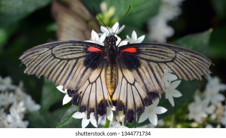 Papilio lowi, the great yellow Mormon or Asian swallowtail, is a butterfly of the family Papilionidae. It is found in Borneo, Indonesia, and the Philippines (Palawan, Balabao)