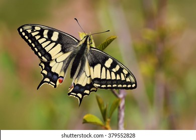 The papilio machaon.