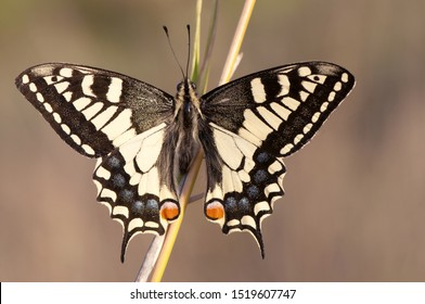 Papilio machaon common yellow or the old world swallowtail one of the largest and most beautiful daytime butterflies that fly in Andalusia natural light