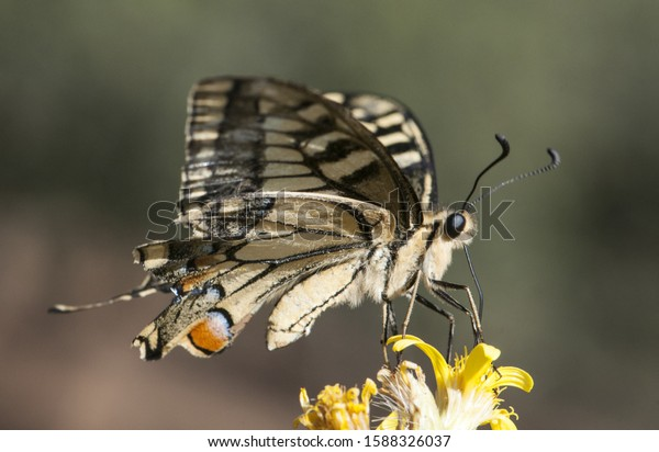 Butterfly Papilio Machaon (Common Yellow Swallowtail) On The ... | 412x600