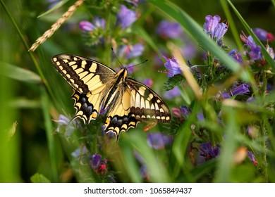 Papilio machaon, European Swallowtail (Common Yellow Swallowtail). Butterfly on flower. Czech Republic