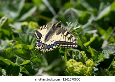 Papilio machaon, the Old World swallowtail, is a butterfly of the family Papilionidae.The butterfly is also known as the common yellow swallowtail or simply the swallowtail.