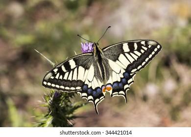 Papilio machaon, Schwalbenschwanz - Papilio machaon, Swallowtail butterfly from Italy, Papilio machaon, Swallowtail butterfly from Italy, Europe