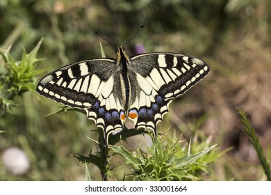 Papilio machaon, Swallowtail butterfly from Italy, Europe Europe