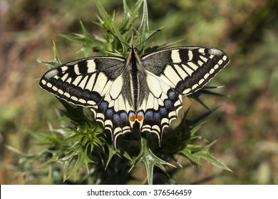 Papilio machaon, Swallowtail butterfly from Italy, Europe