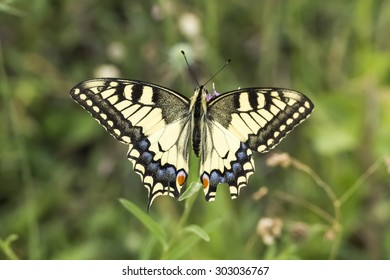 Papilio machaon, Swallowtail butterfly from Lower Saxony, Germany
