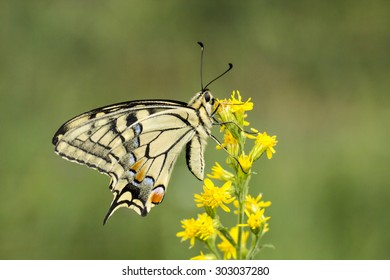 Papilio machaon, Swallowtail butterfly from Lower Saxony, Germany, Europe