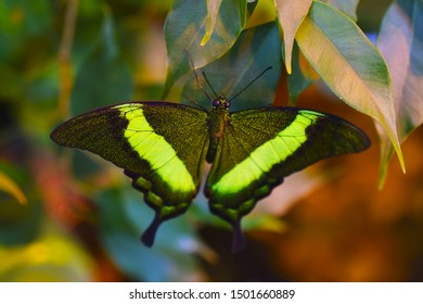 Papilio palinurus  is a day butterfly from the Sailboats family. It feeds on nectar of tropical flowers. Beautiful insect.