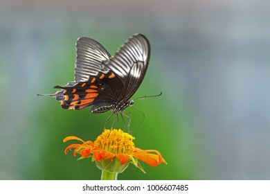 Papilio polytes, the common Mormon is a common species of swallowtail butterfly is known for the mimicry displayed by the numerous forms of its females which mimic common rose and the crimson rose