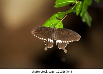 Papilio polytes, the common Mormon,[1][2] is a common species of swallowtail butterfly widely distributed across Asia.[1][2]  This butterfly is known for the mimicry displayed by the numerous forms of