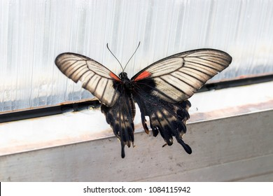 Papilio rumanzovia, Scarlet Mormon or Red Mormon, of the Papilionidae family.