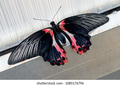 Papilio rumanzovia, the scarlet Mormon or red Mormon, butterfly of the family Papilionidae.