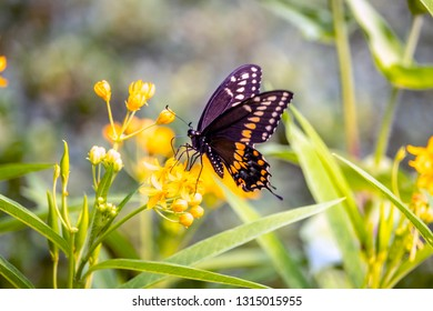 Papilio troilus, the spicebush swallowtail or green-clouded butterfly, is a common black swallowtail butterfly