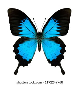 Papilio ulysses, Blue emperor or Blue mountain swallowtail butterfly, beautiful bright blue among dark black wings showing upper part in natural color profile isolated on white background