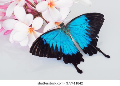 Papilio ulysses butterfly on pink and white frangipani with white background