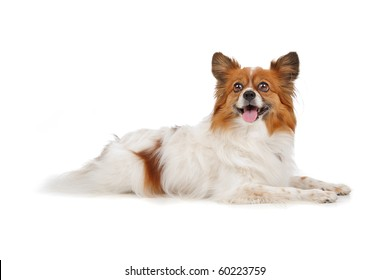Papillon (Phal�¨ne ,Butterfly,Squirrel) isolated on white