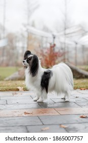 Papillon dog. Cute and beautiful dog breed continental toy spaniel  outdoors in fall