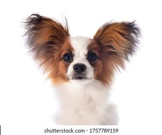 白い背景にパピロン犬