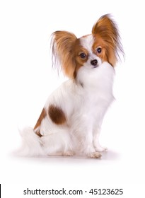 Papillon dog on white background