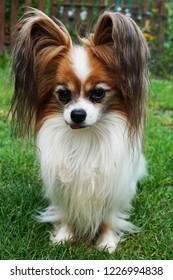 papillon dog portrait as nice smart animal