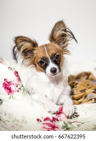 Papillon on bed