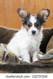 Papillon Puppy in bed on wooden background