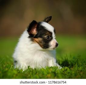 Papillon puppy dog outdoor portrait in grass
