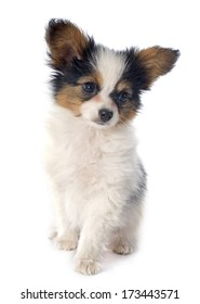 papillon puppy in front of white background