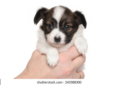Papillon puppy in hand isolated on white background
