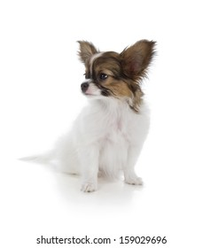 Papillon puppy isolated on white background