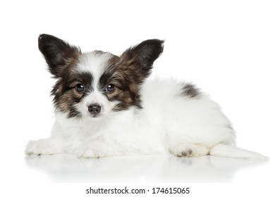 Papillon puppy lying on a white background