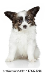 Papillon puppy sits on white background