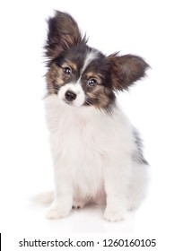 Papillon puppy sitting in front view. isolated on white background