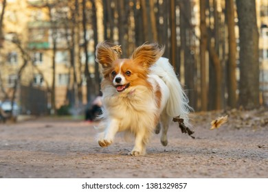 A Papillon Purebred Dog runnig in the City Park