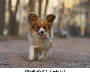 A Papillon Purebred Dog runnig in the City Park. Domestic dog walking inthe park.