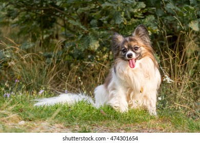 Papillon sitting in the grass in the forest.