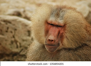 Papio hamadryas or hamadryas baboon is a species of baboon from the Old World monkey family. The hamadryas baboon was a sacred animal to the ancient Egyptians.